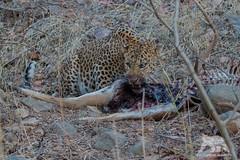 Indian Leopard (fascinationwildlife) Tags: animal mammal india indian leopard wild wildlife nature natur national park cat big predator forest kill summer elusive feline asia ranthambhore