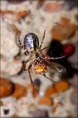 Zygiella (will668) Tags: spider arachnid insect 8legs cavespider hearnbay reculver reculverromanfort kent samsunggalaxys6edge phonepic zygiella samsunggalaxys6egde cameraphone smartphone phonephotography