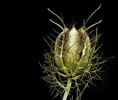 Alien Seed Pod (howardkendall42) Tags: seed seedpod alien howardkendall42