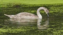 8325 Mute Swan Cygnet (Pete.L .Hawkins Photography) Tags: mute swan cygnet