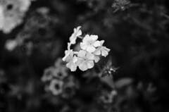 (Kals Pics) Tags: flowers kodaikanal bryantpark mountains hillstation macroworld tamilnadu india blackandwhite colorless monochrome blackwhite lightandlife lightandshadow monotone westernghats princess kalspics
