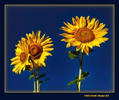 Tres gira-sols (Three sunflowers) Els Alforins, la Vall d'Albaida, Valencia, Spain (Rafel Ferrandis) Tags: girasol valldalbaida alforins sigmaf14art eos5dmkii