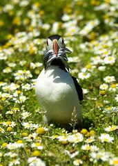 Puffin (wells117) Tags: 2008 a100 august auk bird birds clivewells july july2008 penbrookshire puffin skomer skomer2008 skomerisland sony fraterculaartica