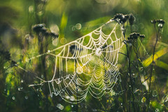 Spider web | Autumn 2016 #270/365 (A. Aleksandraviius) Tags: dew wet morning sunrise green field autumn 2016 cobweb defocuscontrol spider web lithuania bokeh soft nikon 135mm 135mmf2d nikon135f2 nikon135mmf2dc nikond810 135 nikon135mm nikonafdcnikkor135mmf2d nikkor135 nikkor 365days 3652016 d810 nikkor135mm 365 project365 270365
