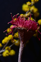 Red Gum and Golden Wattle (Images by Jeff - from the sea) Tags: nikon d7200 flowers tamron tamronsp90mmf2811macro wattle gumtree redgum goldenwattle depthoffield 500v20f