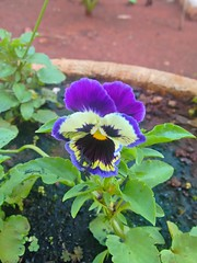 20160910_170905_HDR (Rodrigo Ribeiro) Tags: nature natureza flower flores flor garden gardening jardim jardinagem backyard