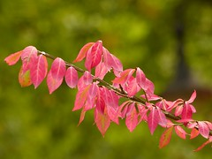 Pink leaves (libra1054) Tags: leaves bltter folhas foglie hojas feuilles rosa ros corderosa herbst autumn autunno automne fall otono outono nature natur natura outdoor