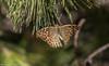 Argynnis pandora - Sagres 2016-10-04 (FranciscoPires) Tags: argynnispandora sagres borboletas algarve portugal