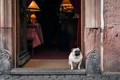 Sushi (Herr Olsen) Tags: turckheim elsass france alsace mops sushi hoteldesdeuxclefs pug tr door hotel empfang reception entrance eingang