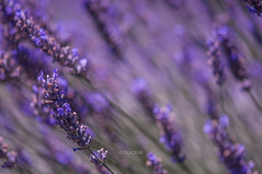 Lavender Fields (Abhijit B Photos) Tags: redmond washington unitedstates us woodinvillelavender lavender plant purple macro blur fields seattle flower color depthoffield blossom outdoor