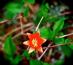Pomegranate at Dawn (Chic Bee) Tags: predawn pomegranate flower postprocessed summermonsoon inmygarden tucson arizona heritagepomegranatevariety dark todarktofocus usa americansouthwest