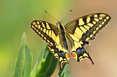 Cauda de andorinha - Swallowtail - Papilio machaon (Yako36) Tags: portugal peniche ferrel butterfly insect insecto nature natureza borboleta tc14e nikonafs300f4 nikond7000