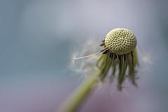 (glendamaree) Tags: dandelion macro nature weed wish flower nikon d750