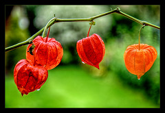 Everything Is Different Now.... (scorpion (13)) Tags: autumn plant colour rain garden droplets chinese frame lantern photoart physalis alkekengi