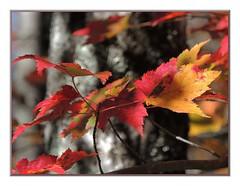 LAST ILLUSIONS (Walter A. Aue) Tags: autumn canada leaves novascotia trail herbstblaetter walteraaue