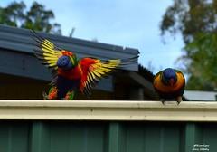 DSC_0075 (RUMTIME) Tags: bird nature birds fly flying flight feathers feather lorikeet queensland coochie coochiemudlo