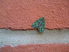Red-Green Carpet, 28-10-2014 (Dave - Mainly Moths) Tags: