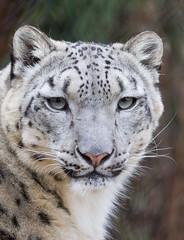 Snow Leopard  Face (Mark Dumont) Tags: animals cat cincinnati dumont leopard mammal mark snow zoo