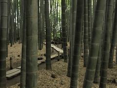 Kamakura (Syunosuke ) Tags: japan kamakura bamboo explore     seeninexplore