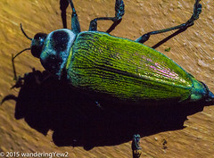 Costa Rica: Large Beetle (Euchroma gigantea) (wanderingYew2) Tags: insect geotagged costarica wildlife beetle lakearenal metallicwoodboringbeetle euchromagigantea wildernesstraveltour giantmetallicceibaborer geo:lat=10484615337848748 geo:lon=8467458665370941