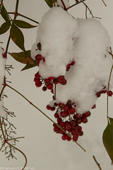 nandina domestica, roosevelt center, snow, jdy076 XX201403173679.jpg (rachelgreenbelt) Tags: usa snow unitedstates maryland northamerica greenbelt americas midatlantic berberidaceae princegeorgescounty nandinadomestica rooseveltcenter familyberberidaceae midatlanticregion berberidaceaefamily nandinaall