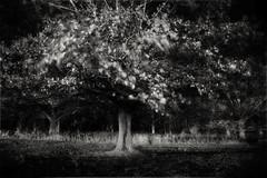 Nocturnal Autumnal B&W (mckenziemedia) Tags: longexposure autumn white black tree fall leaves canon eos branches 28mm 25 5d vivitar f25 180sec