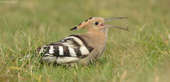 Snack Attack (KHR Images) Tags: wild bird nature nikon feeding wildlife bedfordshire upupaepops hoopoe migrant willington d7100 8004000mmf4556 kevinrobson khrimages