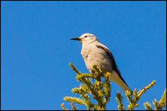 Clark's Nutcracker (John R Chandler) Tags: canada bird alberta rockymountains crow lakelouise banffnationalpark clarksnutcracker nucifragacolumbiana