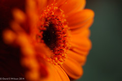 Gerbera in Orange (David S Wilson) Tags: uk winter england orange flower gerbera ely fens 2014 extensiontube davidswilson lightroom5 sonysel50f18 sonya5100