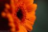 Gerbera in Orange (David S Wilson) Tags: uk winter england orange flower gerbera ely fens 2014 extensiontube davidswilson lightroom5 sonysel50f18 sonya5100