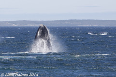 A whale of a time (DepictingPhotos) Tags: africa animals hermanus southafrica whales
