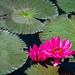 Lotus flower at Lake Sebu