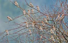 Bohemian Waxwings (nickinthegarden) Tags: bohemianwaxwings pittmeadowsbccanada grantsnarrow catbirdslough