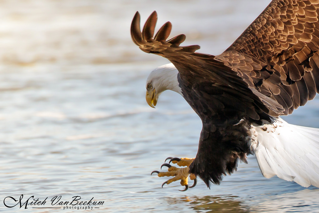 A Fish's Last Moments (Bald Eagle)