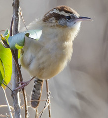wren_5790 (edshawn) Tags: birds virginia nikon wren potomacriver carolinawren dykemarsh d7000 tamron150600