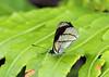 Perisama oppelii oppelii, Guacamayos, Ecuador (Terathopius) Tags: ecuador nymphalidae guacamayos perisamaoppeliioppelii