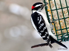 DSC_0657 (rachidH) Tags: nature birds woodpecker downywoodpecker picoidespubescens nj pic sparta oiseaux picmineur rachidh