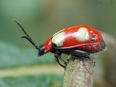 Asphaera sp. - Chrysomelidae (iagobueno) Tags: red color macro closeup beetle insects inseto coleoptera besouros