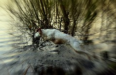 And......action! (cdwpix) Tags: dog lake water gardens jump north working bitch stick kelsey cockerspaniel fen fetch eastyorkshire holderness burstwick lemonwhite