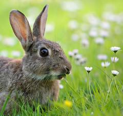 Garden Salad (Alan MacKenzie) Tags: wild rabbit nature sussex brighton unitedkingdom wildlife meadow daisy southdowns