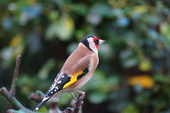 Portrait of a goldfinch. (artanglerPD) Tags: red black yellow gold goldfinch colourful