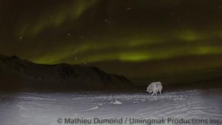 Wolf under the Aurora-8075