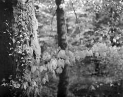 Beech tree branch - Rollei Infrared (schoeband) Tags: bw schweiz switzerland suisse infrared 4x5 svizzera aargau largeformat viewcamera rolleiinfrared gipfoberfrick ir820 geindel rolleiinfraredir400 toyoview45gii