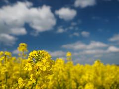 Bavarian Raps-ody (3) (Karsten Gieselmann) Tags: blue sun color yellow clouds spring dof bokeh lawn meadow wolken olympus gelb blau sonne farbe frhling schrfentiefe m43 mft microfourthirds feldweidewiese em5markii kgiesel