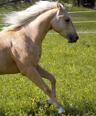 Power! (Giuliana_V) Tags: horses horse sun love beautiful spring warm power sunny running run pasture powerful whiz americanquarterhorse