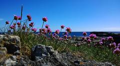 Thrift at Scarlett. (Chris Kilpatrick) Tags: blue chris sea sky scarlett nature rock outdoor thrift isleofman irishsea nokialumia1020