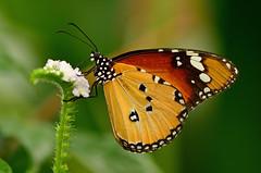 Orange butterfly (Rene Mensen) Tags: macro butterfly insect zoo nikon rene monarch nikkor emmen vlinder mensen vlindertuin wildlands afrikaanse monarchvlinder