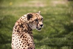 Toronto Zoo - May 4, 2016 (MorboKat) Tags: toronto nature animal cat mammal zoo outdoor bigcat cheetah animalia mammalia carnivore torontozoo carnivora acinonyxjubatus felidae acinonyx feliformia felinae