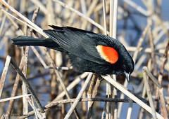 Carouge  paulettes  / Red-winged Blackbird (anjoudiscus) Tags: canada bird nature montral jean wildlife qubec avril oiseau d800 jardinbotanique redwingedblackbird agelaiusphoeniceus 2016 carougepaulettes afsnikkor80400mm