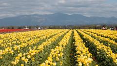 Tulip Fest (7 of 26) (evan.chakroff) Tags: flowers festival washington spring unitedstates tulips tulip april mountvernon tulipfestival mtvernon roozengaarde 2016